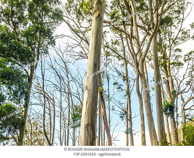 Tall trees in a blue gum forest. Cape Town, South Africa