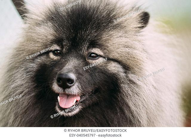 Close Up Of Lovely Funny Happy Young Keeshond, Keeshonden Dog