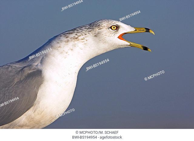 ring-billed gull (Larus delawarensis), calls, USA, Florida