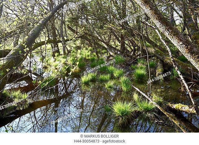 NSG, NSG 12, Chlepfibeerimoos, break wood, alder break wood, black alder, Alnus glutinosa, marsh, moor, humid wood, wetland, wood, Segge, Carex, Bulte