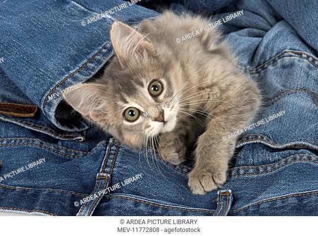 Cat Somali (blue) 3 month old kitten in jeans