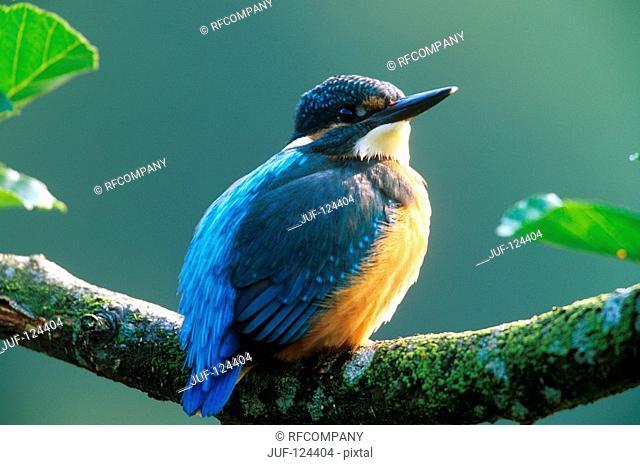 European Kingfisher - sitting on branch / Alcedo atthis