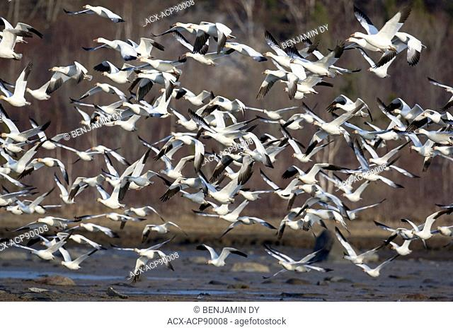 Greater snow goose, Chen caerulescens atlantica, Spring migration, Quebec, Canada (2)