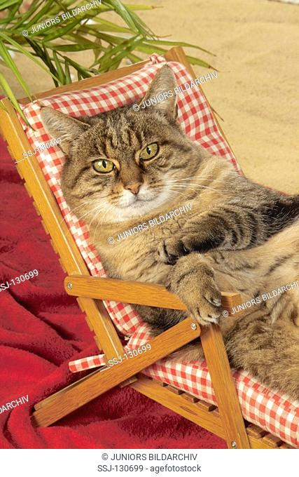 domestic cat on deck chair