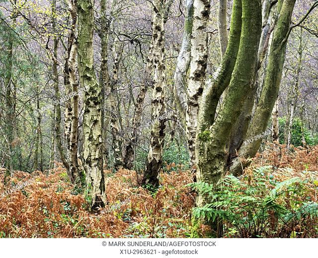 Silver Birch Trees in Autumn at Birk Crag Harrogate Yorkshire England