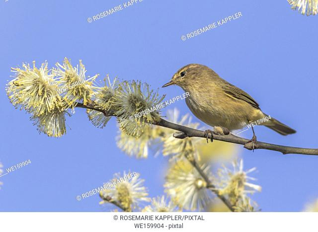 A common chiffchaff is sitting on a branch
