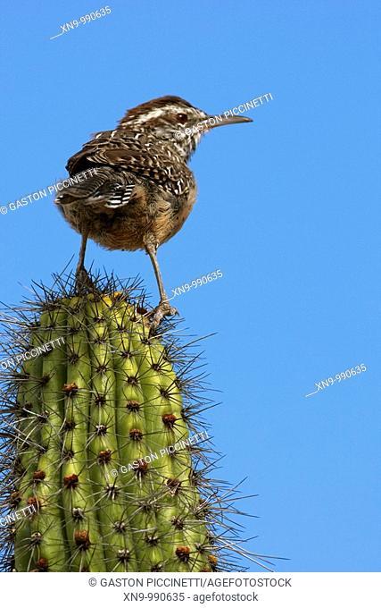 Cactus wren comeseba Campylorhynchus brunneicapillus, on the Giant saguaro Carnegiea gigantea, Saguaro National Park Western section, Tucson, Arizona, USA