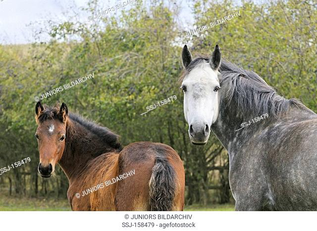 Connemara horse - mare and foal
