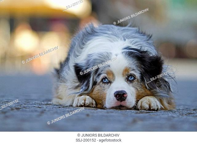 Miniature Australian Shepherd (blue merle). Adult dog lying on a square in the city of Leipzig, Sachsen, Germany