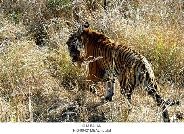 ROYAL BENGAL TIGER IN KANHA NATIONAL PARK, MADHYA PRADESH