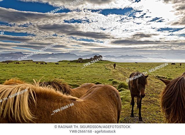 Horses grazing by Vidbordssel- abandon farm, Hornafjordur, Iceland