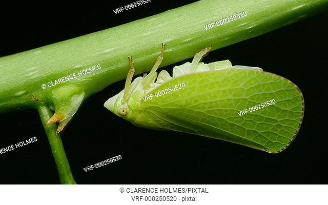 A Planthopper (Acanalonia conica) exposes its abdomen and releases a drop of liquid while clinging to the underside of a herbaceous plant stem