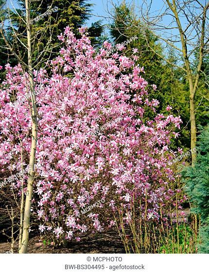 star magnolia (Magnolia x loebneri 'Leonard Messel', Magnolia x loebneri 'Leonard Messel', Magnolia loebneri, Magnolia x loebneri), cultivar Leonard Messel