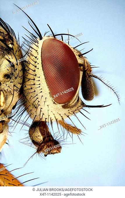 Extreme close up of the head of a fly showing the hexagonal structure of the compound eye