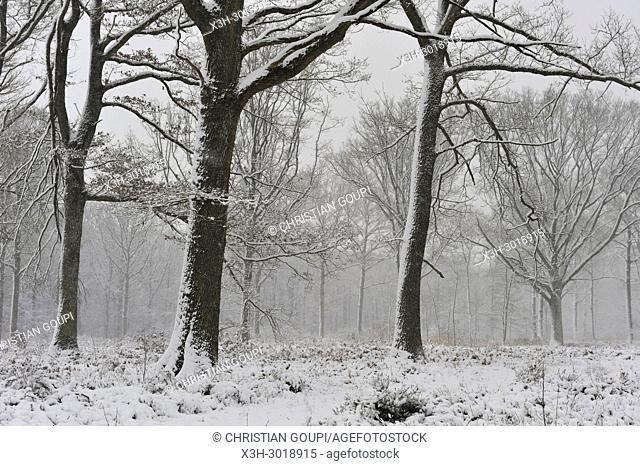 Forest of Rambouillet in the snow near Poigny-la-Foret, , Haute Vallee de Chevreuse Regional Natural Park, Yvelines department, Ile de France region, France