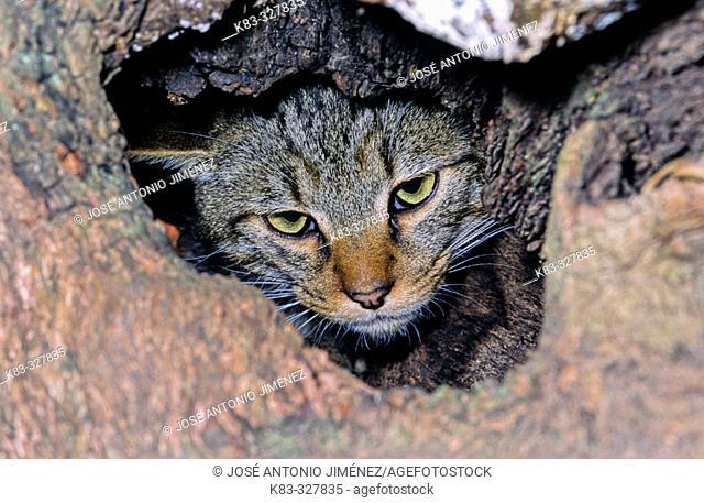 Wildcat (Felis silvestris) in its burrow