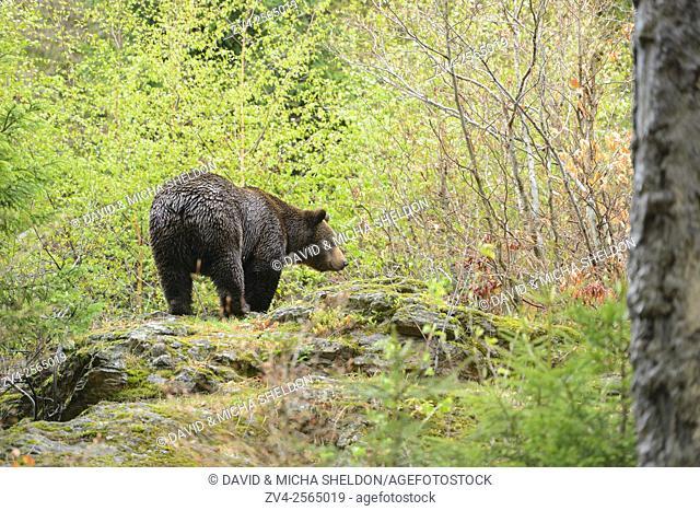 European brown bear (Ursus arctos arctos) in a forest in spring. Bavarian Forest National Park. Germany
