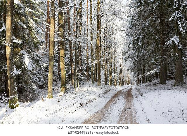 Wide ground road in snow crossing coniferous stand in sunrise, Bialowieza Forest, Poland, Europe