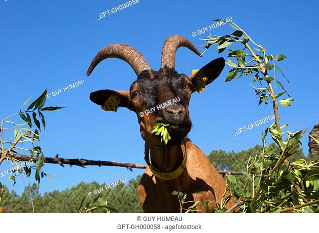 GOAT EATING THE SHRUBS OUT IN NATURE, SAINT-ETIENNE-VALLEE-FRANCAISE, LOZERE (48), FRANCE