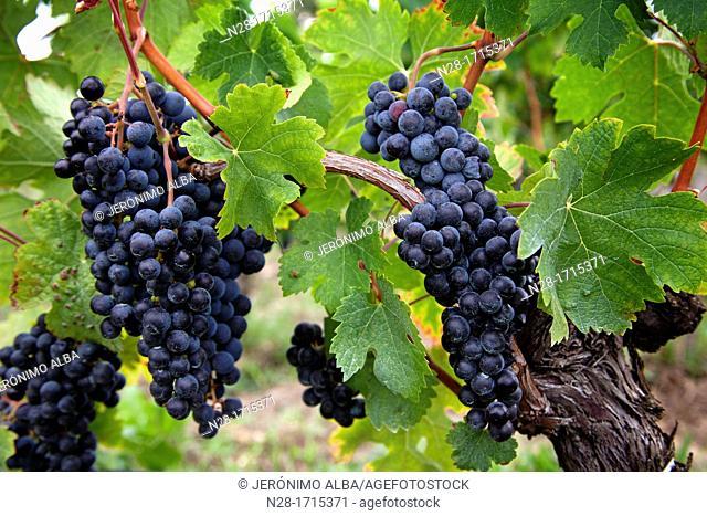 Vineyards in Chateau St Pierre de Pomerol Bordeaux wines district France