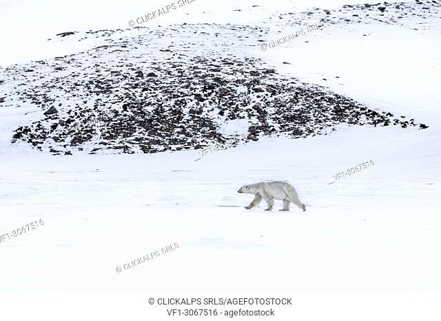 Polar bear in Billefjorden, Western Spitsbergen, Svalbard