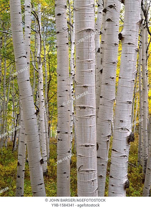 Large white trunks of mature quaking aspen Populus tremuloides with autumn foliage, West Elk Mountains, Gunnison National Forest, Colorado, USA