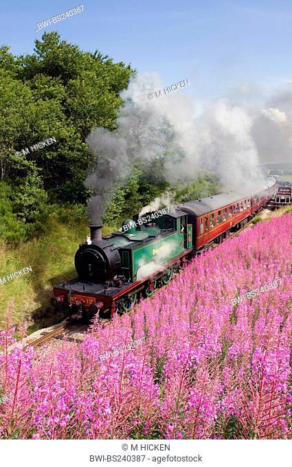 fireweed, blooming sally, rosebay willow-herb, great willow-herb Epilobium angustifolium, Chamaenerion angustifolium, preserved Haverthwaite Railway running...