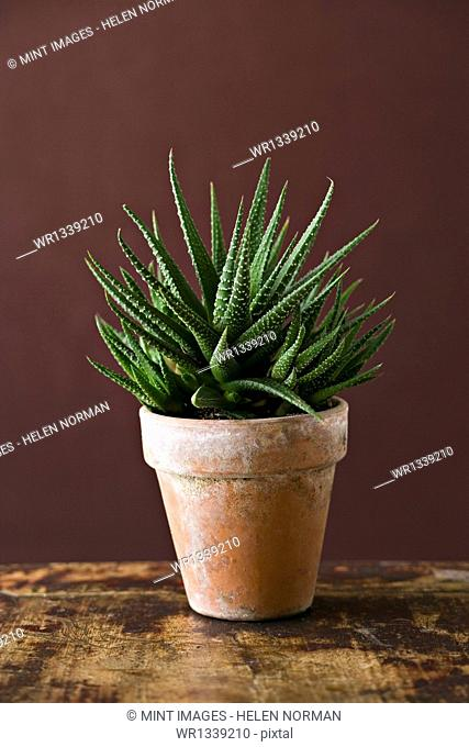 A houseplant cactus succulent with spiky green leaves growing in a pot