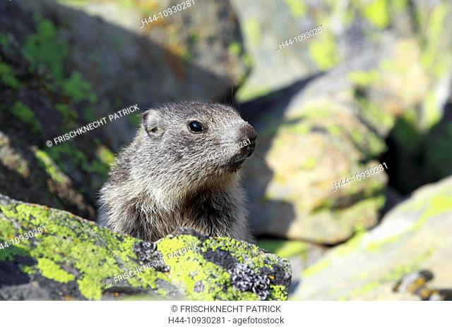 1, Alp, Alps, groundhog, Alpine fauna, Alpine groundhog, Alpine, animal world, alpine Marmot, mountain, mountains, fauna, cliff, rock, young, Marmota