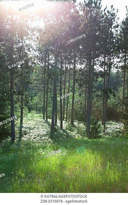 Sunlight through forest, summer in Williamsburg, Michigan, near Traverse City, MI, USA