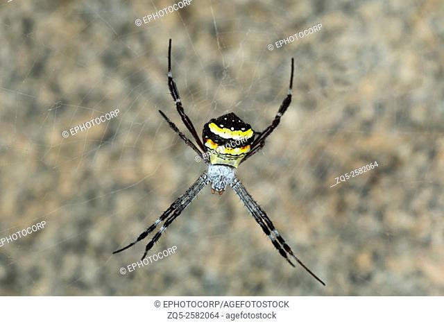 Signature spider, Argiope sp. , NCBS, Bangalore, India