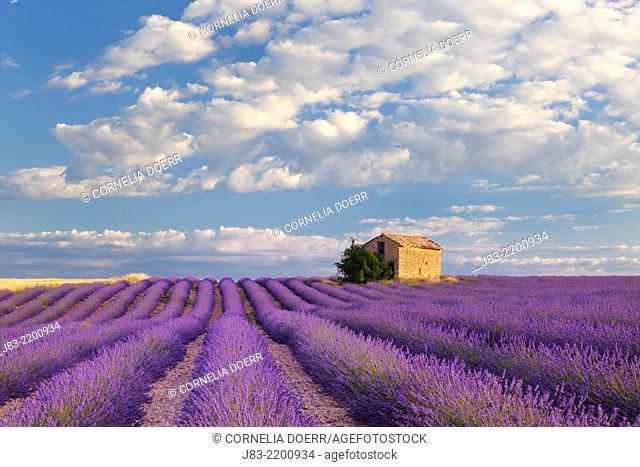 Stone House in Lavender field (Lavendula augustifolia), Valensole, Plateau de Valensole, Alpes-de-Haute-Provence, Provence-Alpes-Cote d'Azur, Provence, France