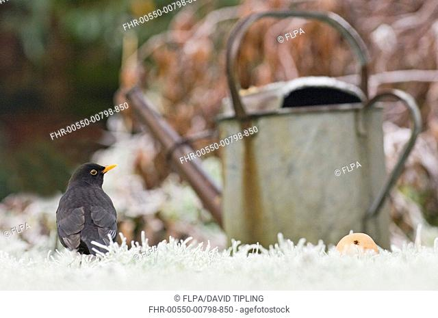 European Blackbird Turdus merula adult male, standing on frost covered garden lawn near watering can at dawn, Kent, England, december