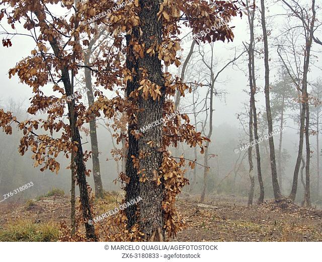 Winter oak tree (Quercus robur) on a foggy day. Lluçanès region, Barcelona province, Catalonia, Spain