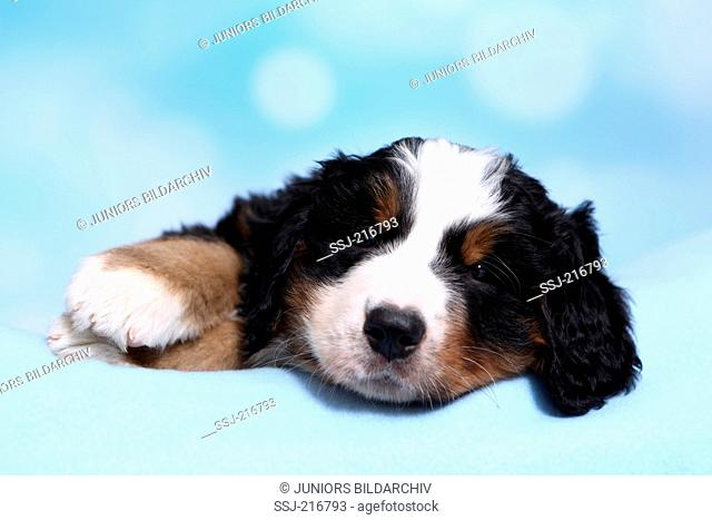 Bernese Mountain Dog. Puppy (6 weeks old) lying on a blue blanket. Studio picture against a blue background. Germany