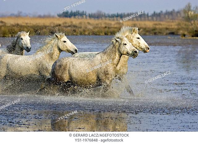 Camargue Horse, Herd standing in Swamp, Camargue in the South of France