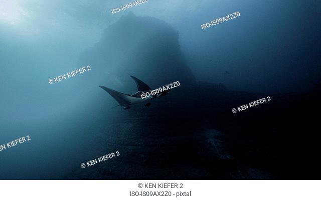 Giant Ocean Manta Ray at San Benedicto Island, Socorro, Mexico