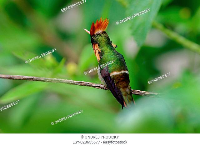 Colorful hummingbird Tufted Coquette from Trinidad sitting