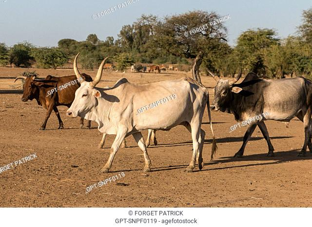 HERD OF ZEBUS IN THE VILLAGE TOUCOULEUR DE DEGUEMBERE, FANAYE DIERI PROVINCE, SENEGAL, WEST AFRICA