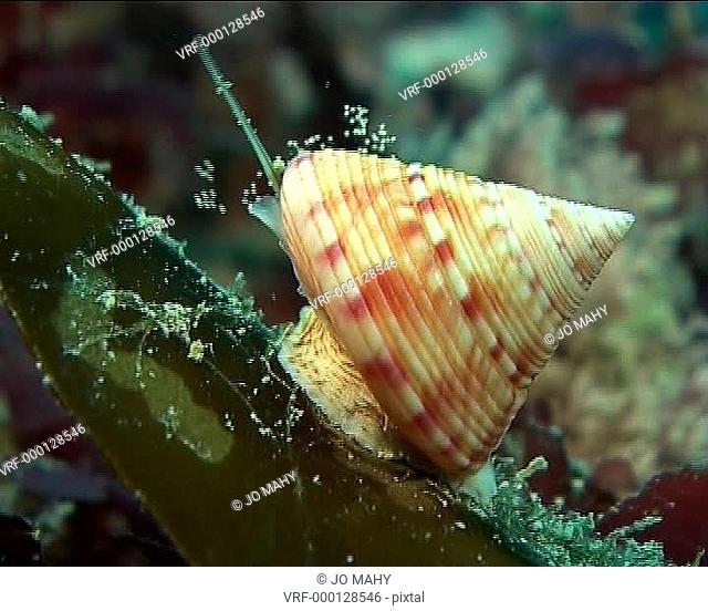top shell. British Isles