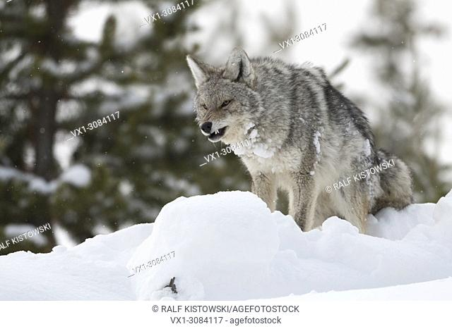Coyote ( Canis latrans ), in winter, high snow, angry, snarling, baring its teeth, threatening, Yellowstone NP, USA
