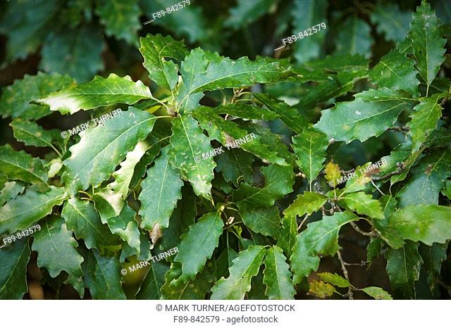 Chinquapin Oak foliage