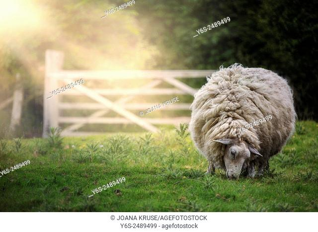 a sheep grazing on a meadow