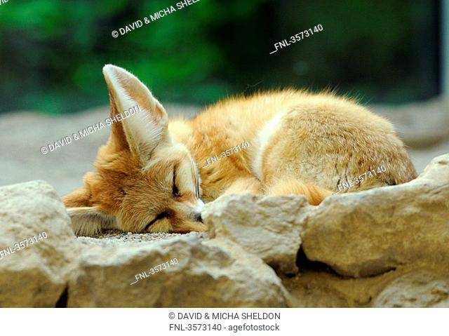Sleeping Fennec Fox Vulpes zerda