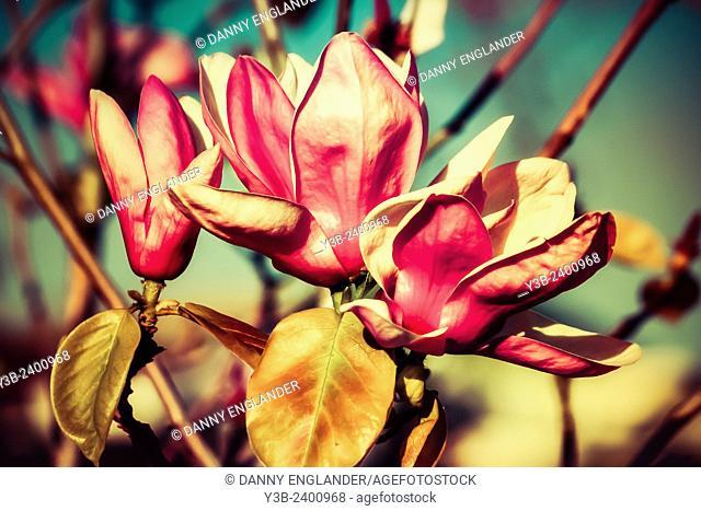 Magnolia blossoms vintage-look