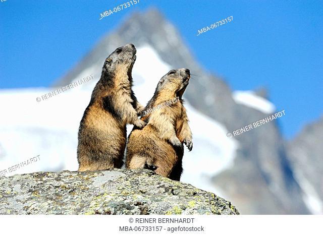 Alpine marmot couples on boulder, Marmota marmota