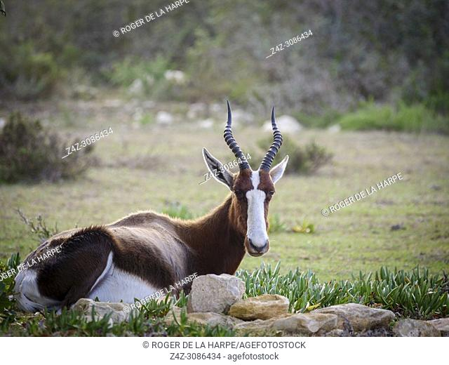 Bontebok (Damaliscus pygargus). De Hoop Nature Reserve. Western Cape. South Africa