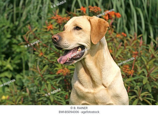 Labrador Retriever (Canis lupus f. familiaris), portrait in the garden, Germany