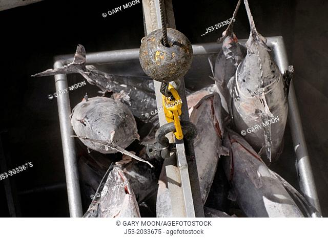 Frozen albacore tuna being hoised from fish hold in commercial fishing boat for transfer to fish buyer at seafood processig plant, Port of Newport, Oregon USA