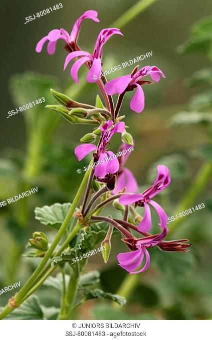 DEU, 2009: Umckaloabo, South African Geranium (Pelargonium reniforme), flowering